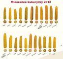 Nasiona kukurydzy San Dumka Reduta Blask