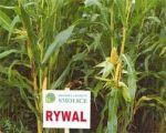 Nasiona kukurydzy RYWAL - (FAO 210)