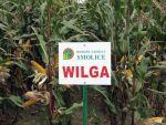 Nasiona kukurydzy Wilga (FAO 180)