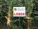 Nasiona kukurydzy Lober (FAO 240)
