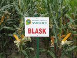Nasiona kukurydzy BLASK (FAO 240 - 250)