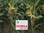 Nasiona kukurydzy DUMKA (FAO 230)