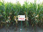 Nasiona kukurydzy Smolik (FAO 220-230)