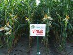 Nasiona kukurydzy Vitras FAO 260