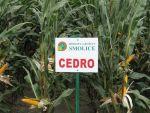 Nasiona kukurydzy Cedro FAO 200 KUKURYDZA na ziarno i kiszonę