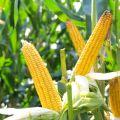 Nasiona kukurydzy DANUBIO FAO 240 SAATBAU