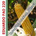 Nasiona kukurydzy EDUARDO FAO 220 SAATBAU