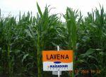 Nasiona kukurydzy LAVENA MAISADOUR FAO 250