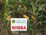 Nasiona kukurydzy NIMBA  (FAO 260)