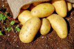 Ziemniaki Sadzeniaki Denar bardzo wczesna 50kg ziemniak na sadzenie Kwalifikat
