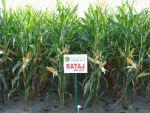 Nasiona kukurydzy Rataj (FAO 220-230)