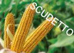 Nasiona kukurydzy Scudetto FAO 240 NOWOŚĆ 2016 na kiszonkę NA PIACHY