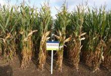 Nasiona Kukurydzy SUMARIS FAO 250