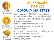 Nasiona kukurydzy SY FENOMEN  Syngenta FAO 250