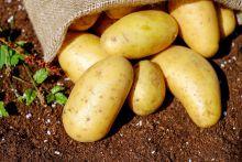 Ziemniaki Sadzeniaki TAJFUN  średnio- wczesna 50kg Ziemniaki na sadzenie