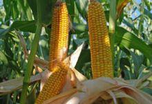Nasiona Kukurydzy SUPRIME NOWOŚĆ FAO 260