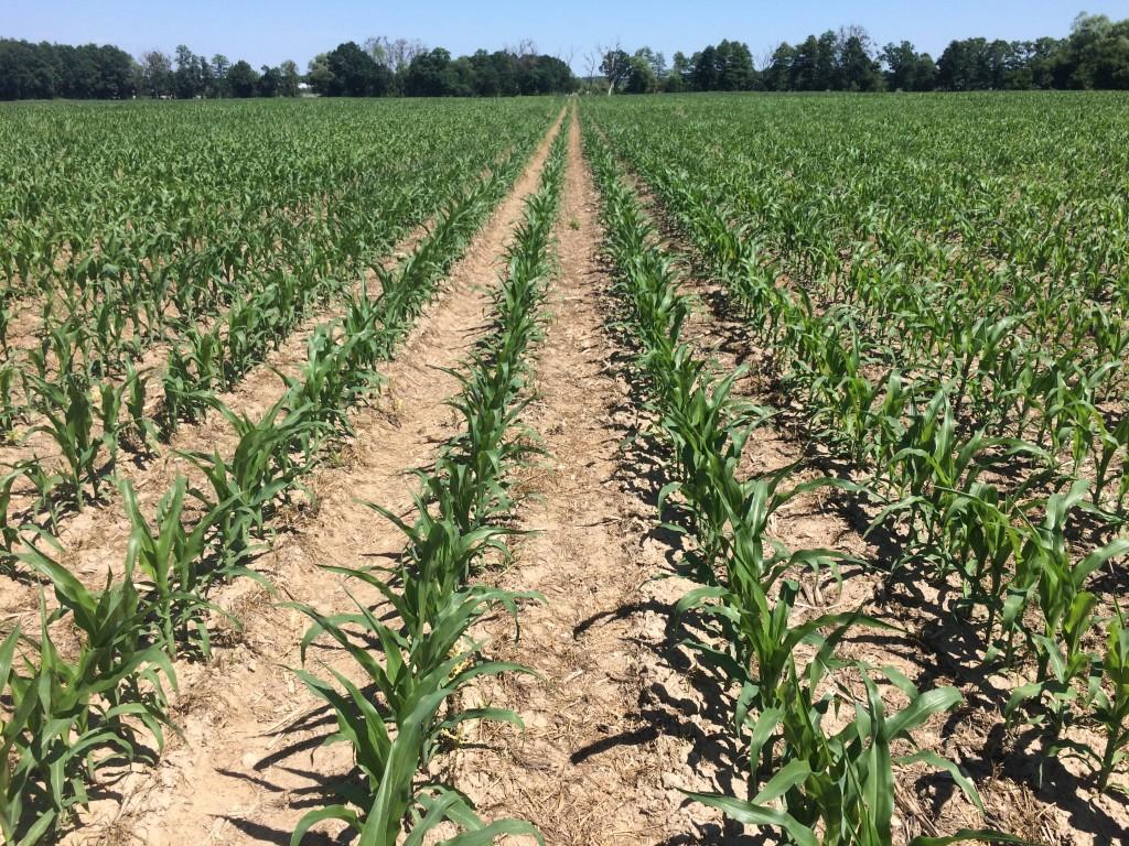 Nasiona Kukurydzy DKC 3642 FAO 260 Agrosimex