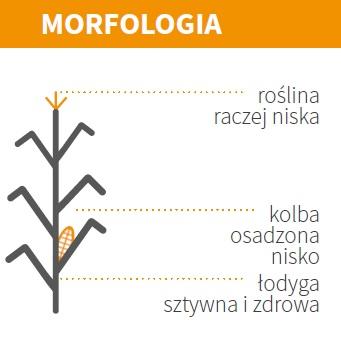 Nasiona Kukurydzy MAS 13.M FAO 220 Agrosimex